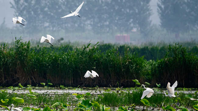 薊州區青甸洼萬畝荷塘成水鳥的天堂
