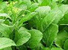 葉菜類價格下降三成