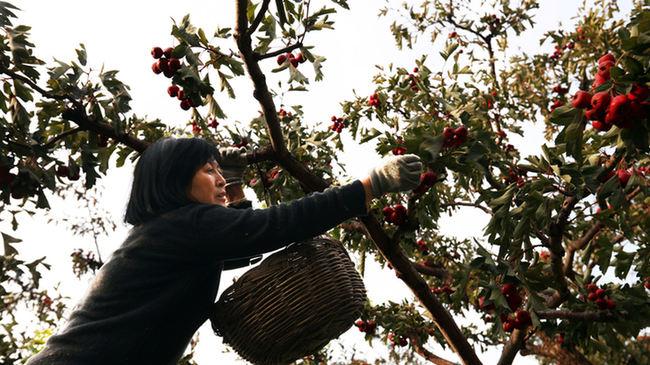 薊州區梁後莊紅果喜獲豐收