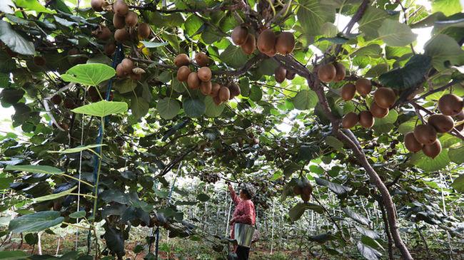 薊州區山鄉優質獼猴桃喜獲豐收