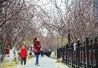 第28屆天津運河桃花節明日開幕