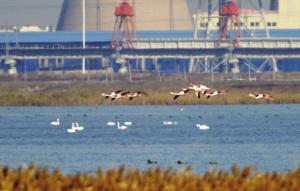 北大港濕地迎來白天鵝與火烈鳥
