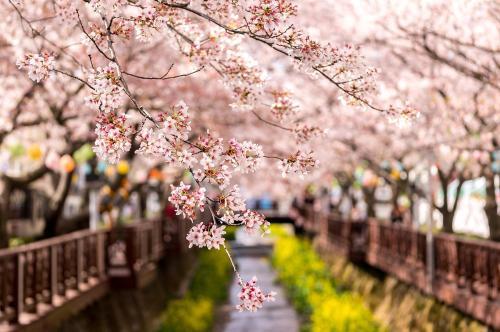 下月去名古屋賞櫻花 往返機票最低800元