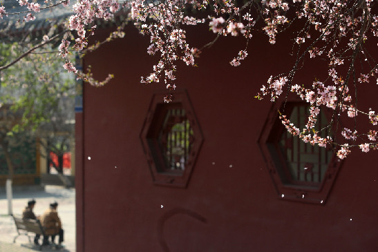 春暖花(hua)開 天津超百個公園恢復開放