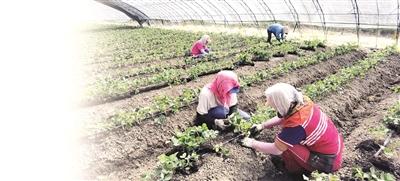 草莓種植忙