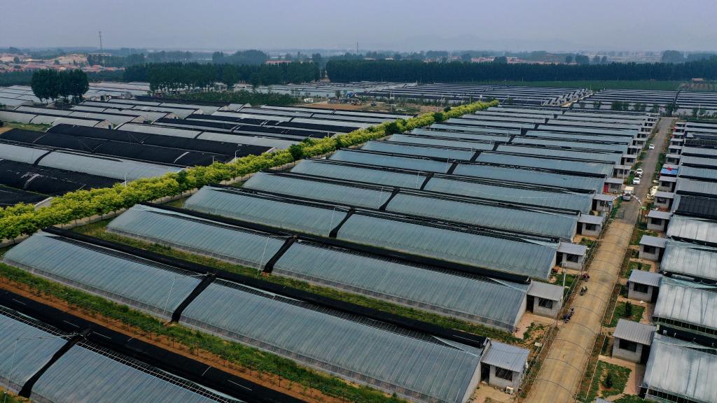 """天津薊州:藍莓成為""""致富果"""""""